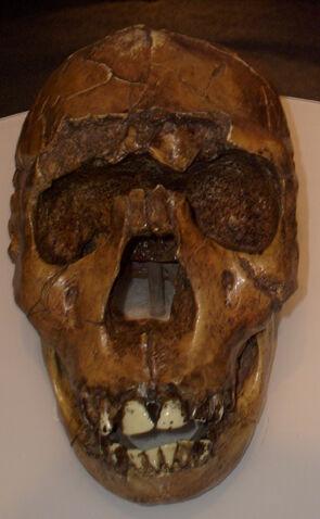 File:Homo ergaster2.jpg