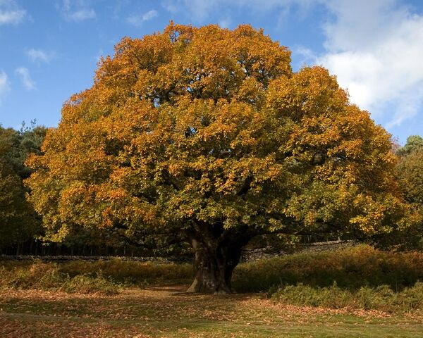 File:Oak-tree.jpg