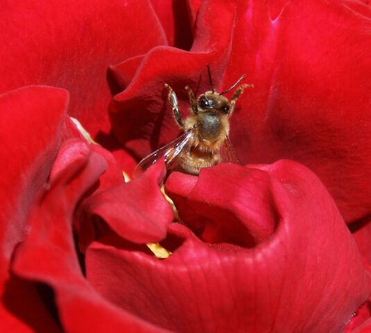 File:A bee and a rose.JPG