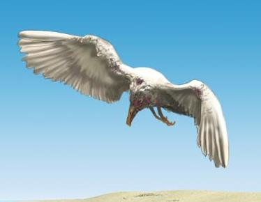 File:Infested Gull.jpg