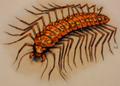 Carrion Centipede