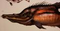 Needlemouth (Acusos cadaverosus)