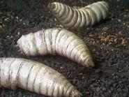 GreenDeath-Maggots