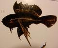 Bile-fin (Bililepis catus)