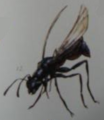 Blue-Black Wasp (Lividuvespa)