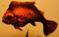 Segnix (Segnichthys incurvus)