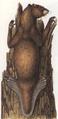 Beaver (After Man)