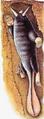 Tusked Mole