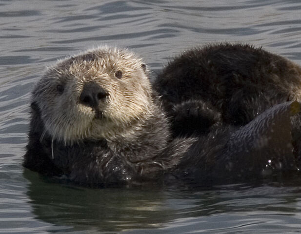 File:Sea otter cropped.jpg