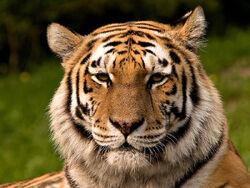 Siberischer tiger de edit02