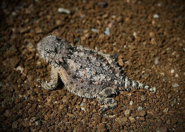 File:Horned lizard 032507 kdh.jpg