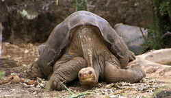 800px-Lonesome George -Pinta giant tortoise -Santa Cruz