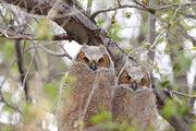 Bubo virginianus -near Tule Lake National Wildlife Refuge, Oregan, USA -juvenile-8