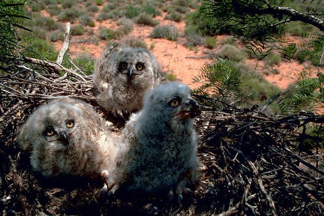 File:Great horned owl chick 3w.jpg