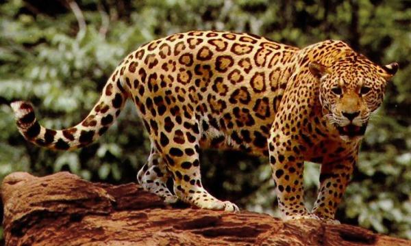 File:Standing jaguar (1).jpg