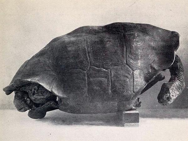 File:Chelonoidis abingdonii.jpg