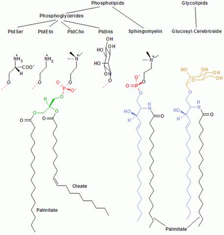 Slika:572px-Membrane lipids.png
