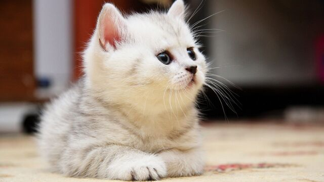 File:1280 White Fluffy Kitten.jpg