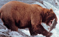 File:Salmon and bear.png