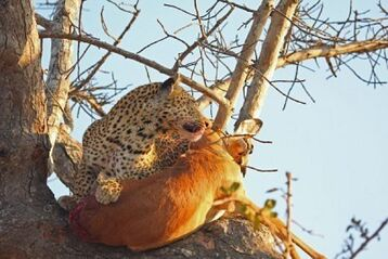 3295259-leopard-in-a-tree-with-kill-in-sabi-sands-reserve