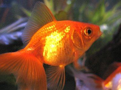 File:Goldfish3.jpg