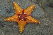 Starfish 02 (paulshaffner)