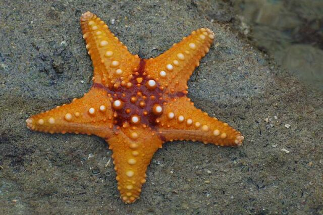 File:Starfish 02 (paulshaffner).jpg