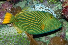 File:Orange Striped Triggerfish.jpg