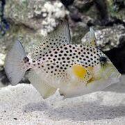 Golden Heart Triggerfish
