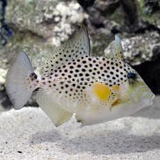 File:Golden Heart Triggerfish.jpg