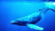 File:Humpback Whale underwater shot.jpg