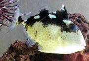 Starry Triggerfish