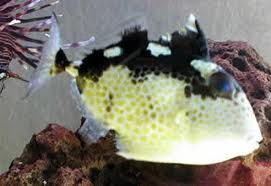 File:Starry Triggerfish.png