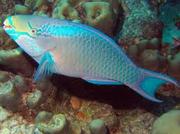 Queen Parrotfish (male)