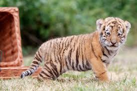 File:Full Shot Tiger.jpeg