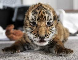 File:Book Tiger.jpeg