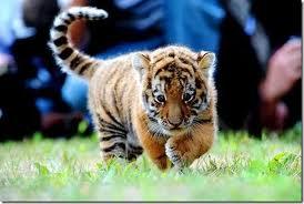 File:Proud Tiger.jpg