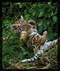 File:Tiger21.jpg