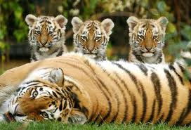 File:Four Tigers.jpeg