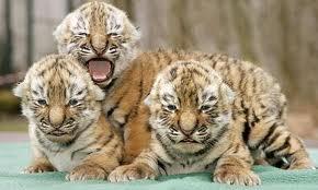 File:Three Tigers.jpg