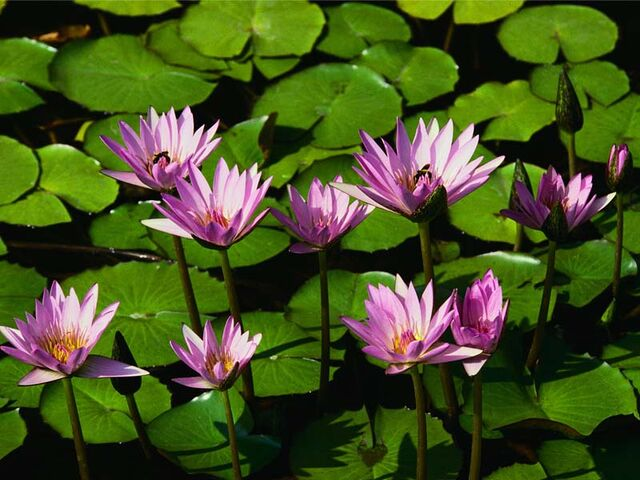 File:Water lilies.jpg