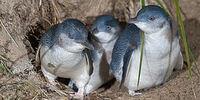 Naval Penguin