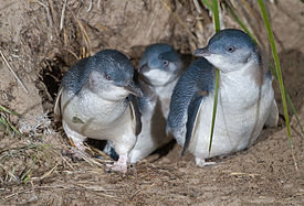 File:Lttle penguin family exiting burrow.jpg