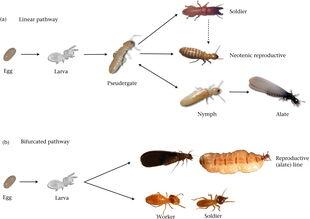 TermiteCastes