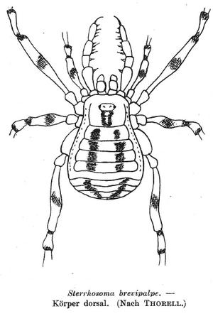 Sterrhosoma brevipalpe Thorell 1891c