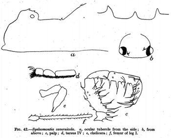 Speleomontia cavernicola