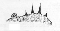 Syleus rufus