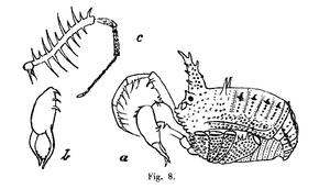 Baso jacobsoni Roewer-1923