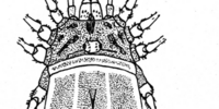 Gagrellula albilineata