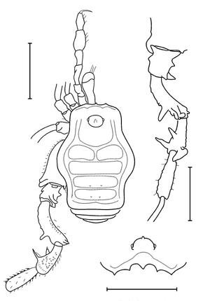 Tricommatus giupponii Kury-2003c
